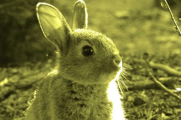 Neuer Impfstoff für Kaninchen gegen RHDV-2